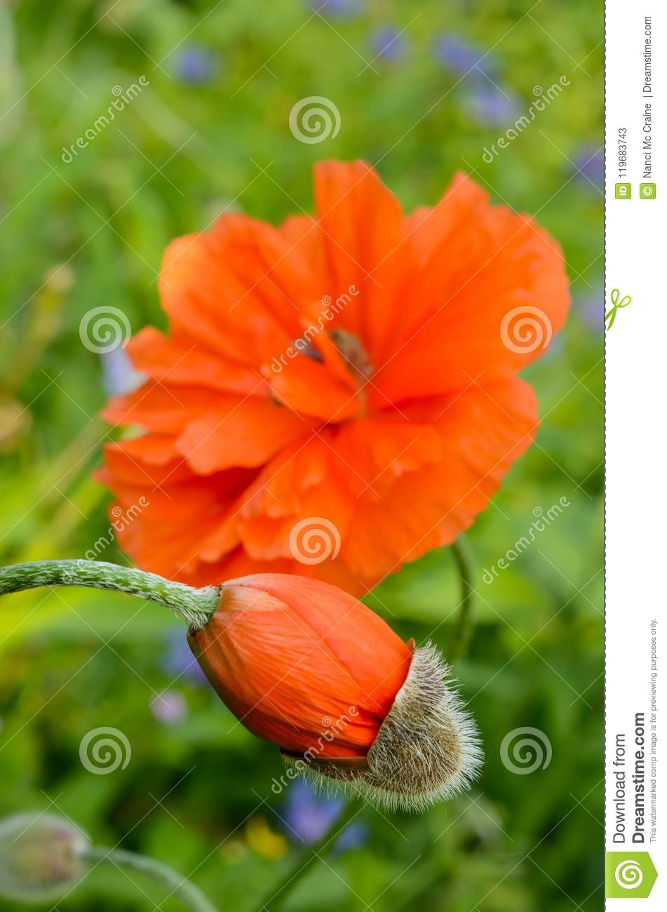Orange Poppy Flowers From Beginning To Full Bloom Stock Image