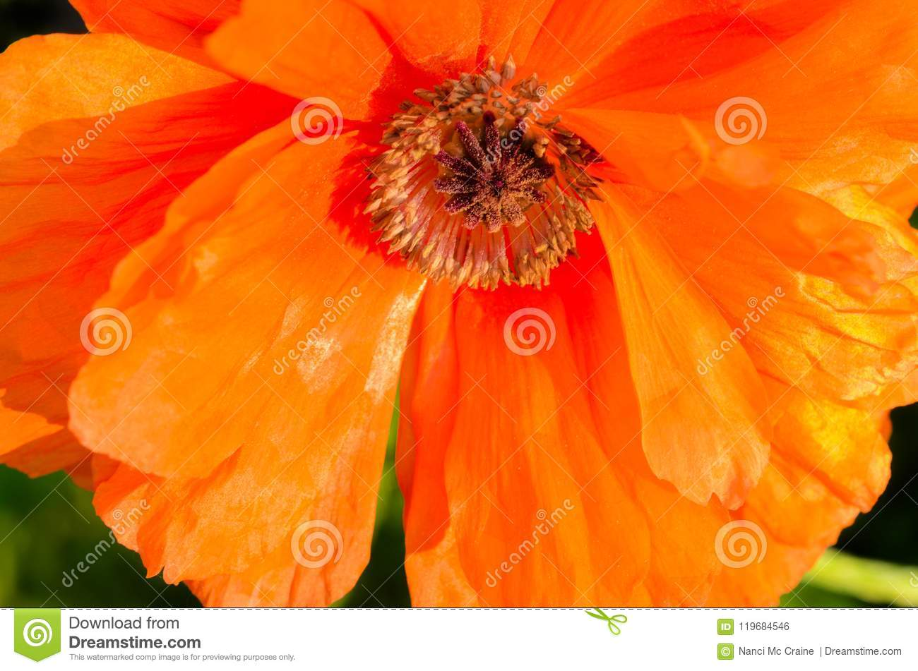 Poppy Flower With Paper Thin Orange Petals Stock Photo Image Of
