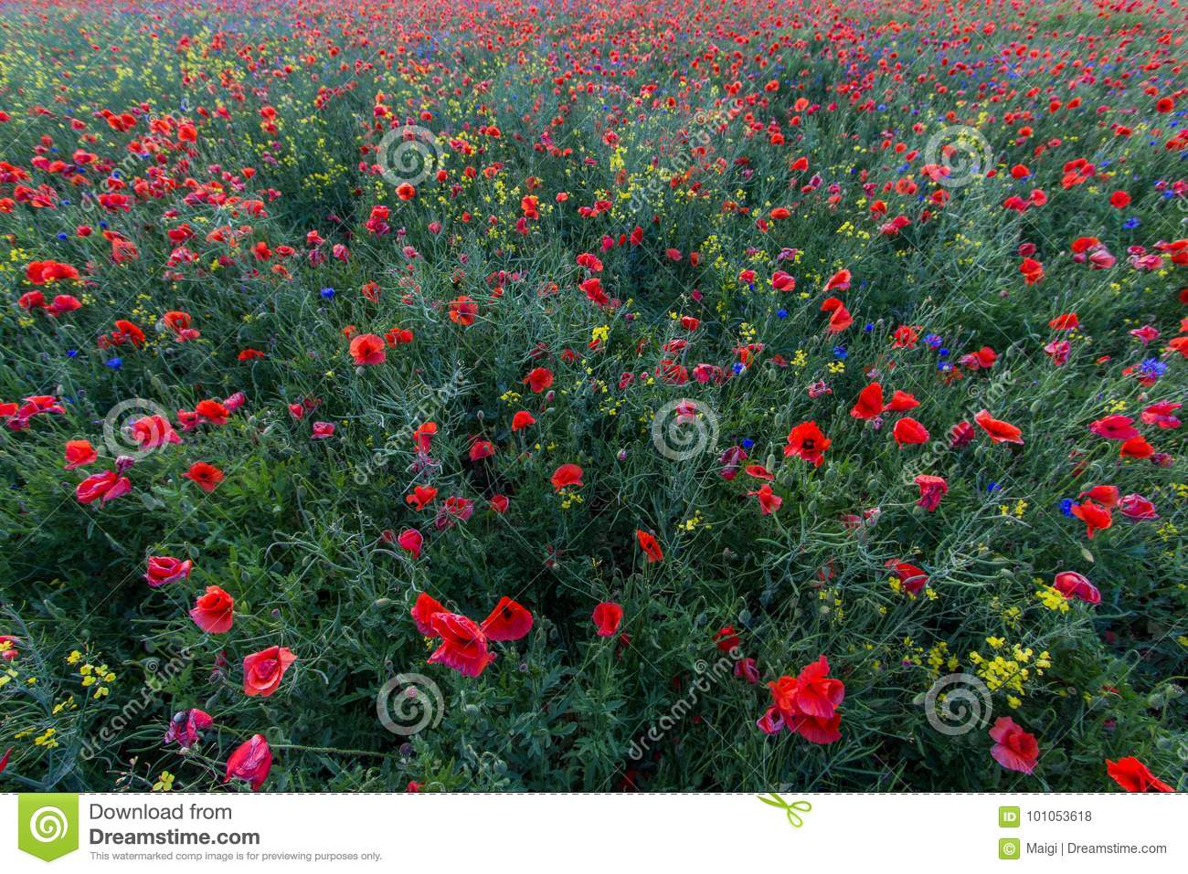 Download In The Middle Of The Poppy Field Stock Photo - Image of middle, centaurea: 101053618