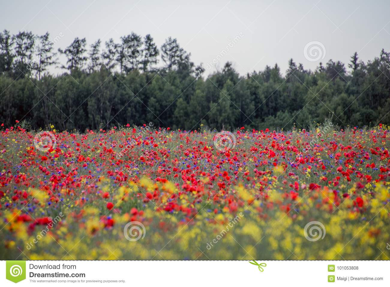 Download Poppies Field, Forest On The Background Stock Photo - Image of landscape, natural: 101053808
