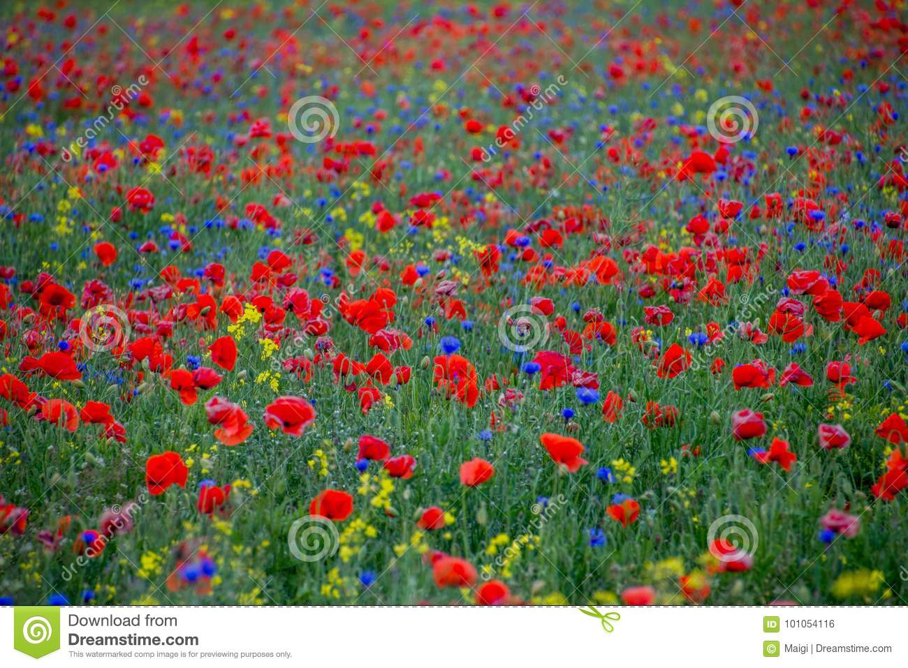 Download Red Poppies And Blue Cornflowers Stock Photo - Image of plants, blue: 101054116