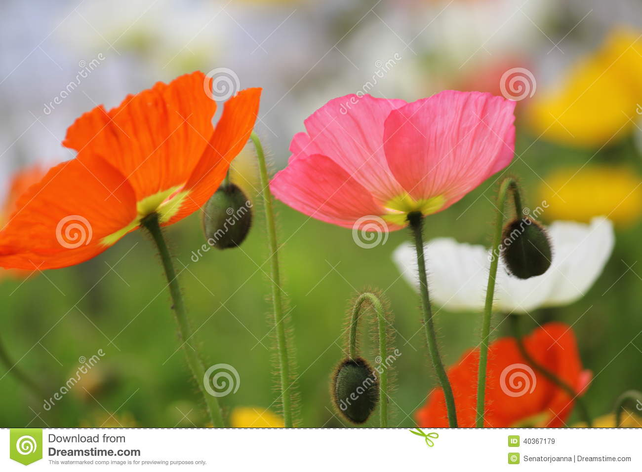 Field With Colourful Poppies Stock Image Image Of Colors Pink