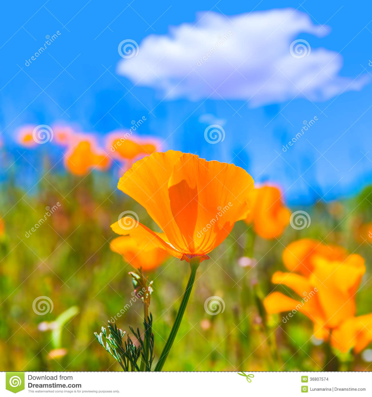 Poppies poppy flowers in orange at california spring fields stock download poppies poppy flowers in orange at california spring fields stock photo image of flora mightylinksfo