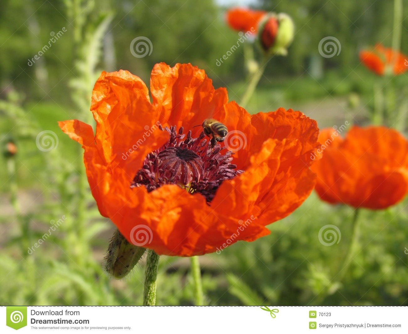 Poppy and the bee.