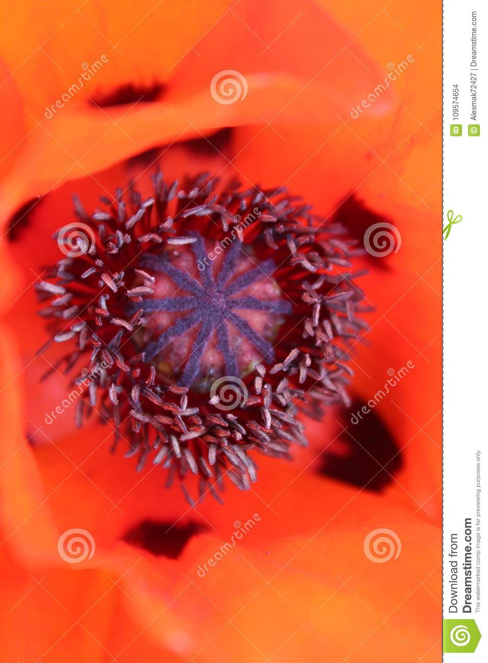 Poppy The Central Part Of The Flower Ripening Stock Photo Image