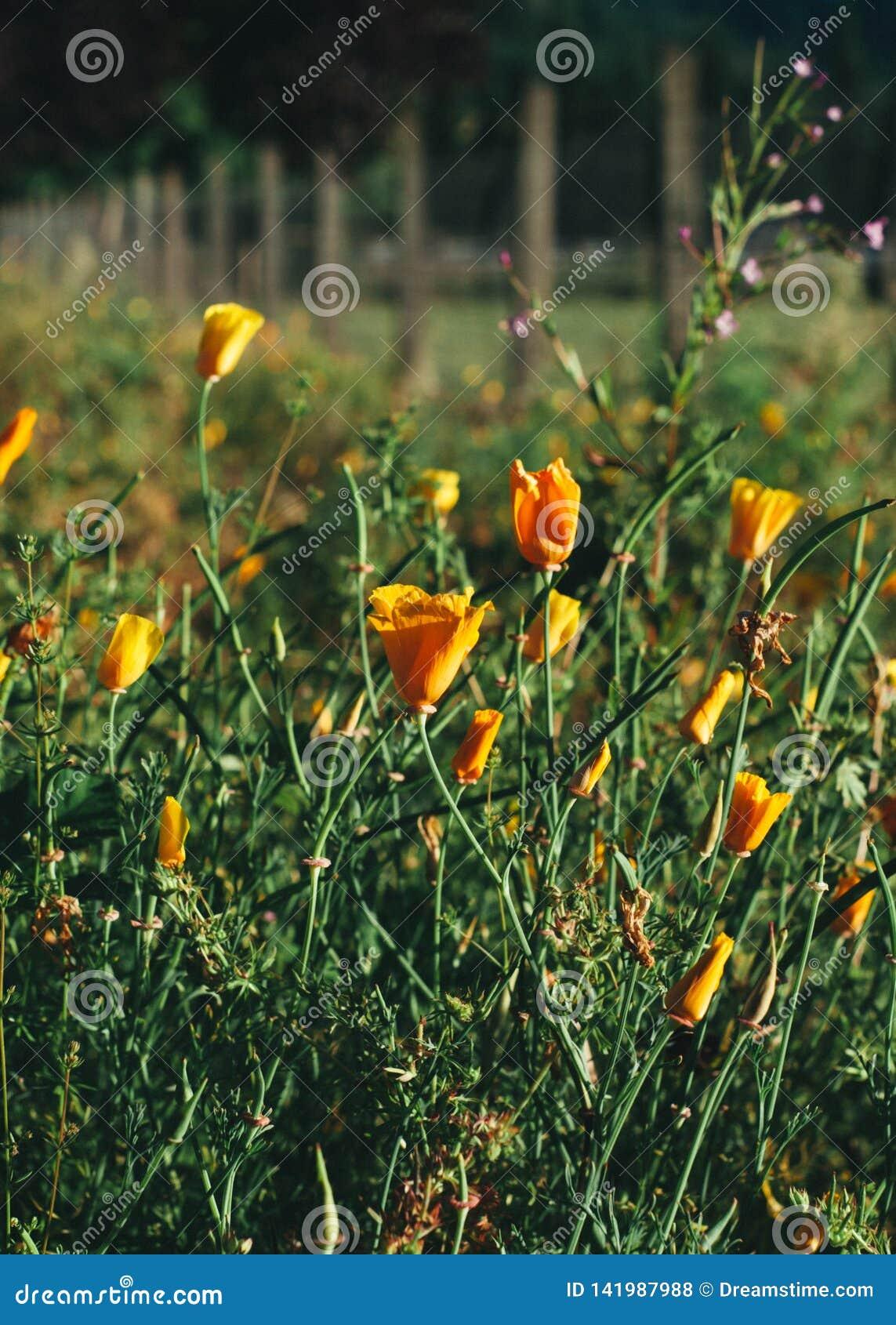 Poppy Field along Fence