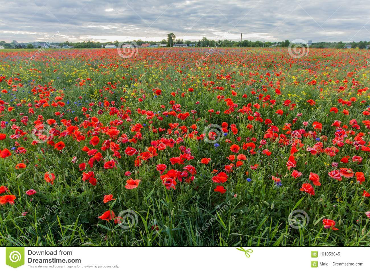 Download Poppy Field With Blooming Red Flowers Stock Image - Image of papaver, plants: 101053045