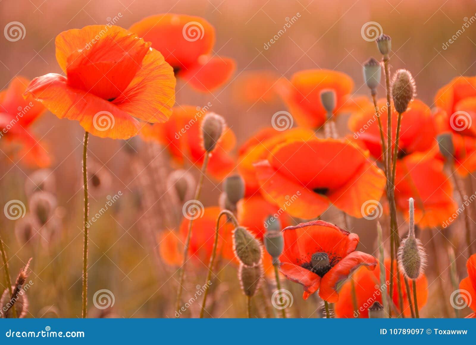 Poppy field in Crimea