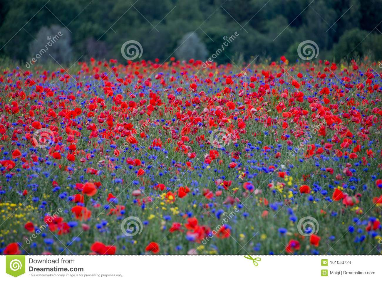 Poppy field in full bloom