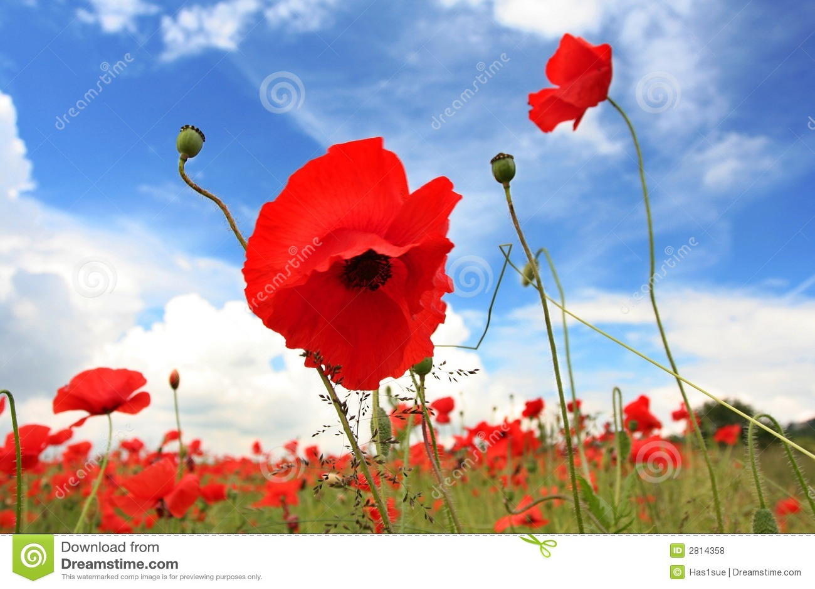 Poppy Field Lanscape