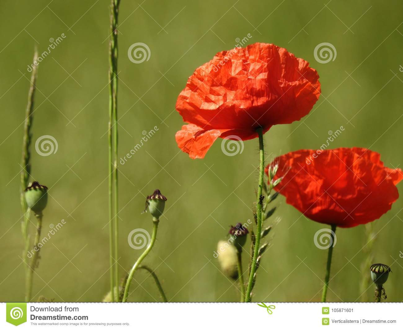 Poppy In Field Of Poppies In Switzerland Stock Image Image Of