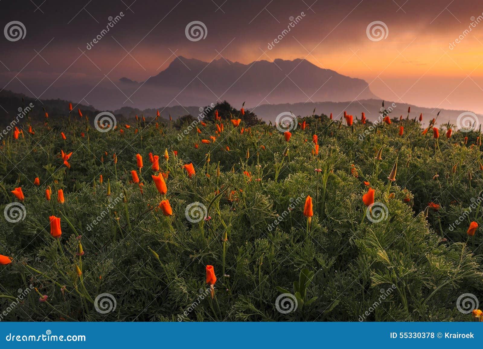 Poppy Fields, chiangmai, Tailândia