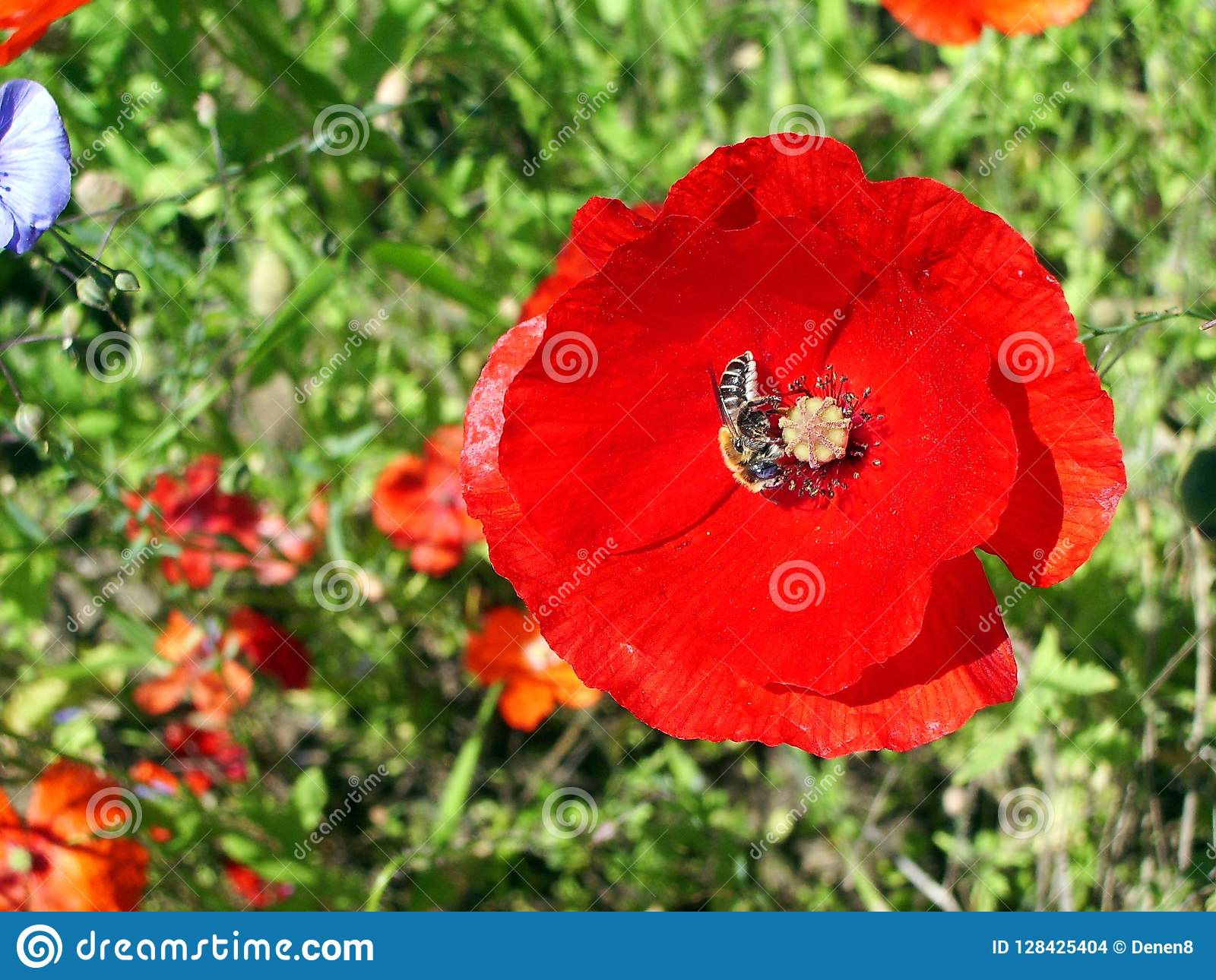 Poppy flower with a bee collecting honey on a green background