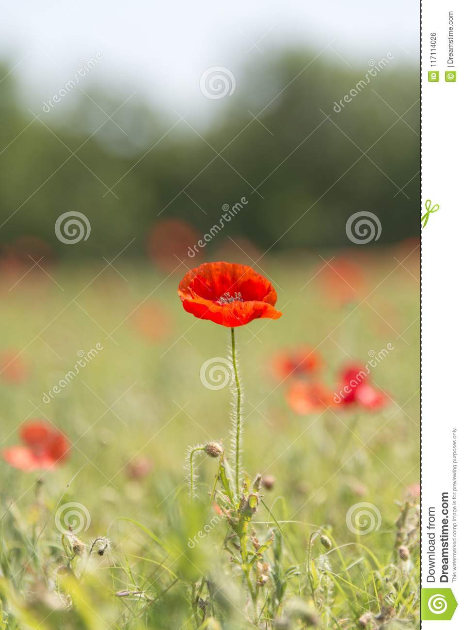 Poppy Flower With Blur Background Field Of Poppies Vertical Stock