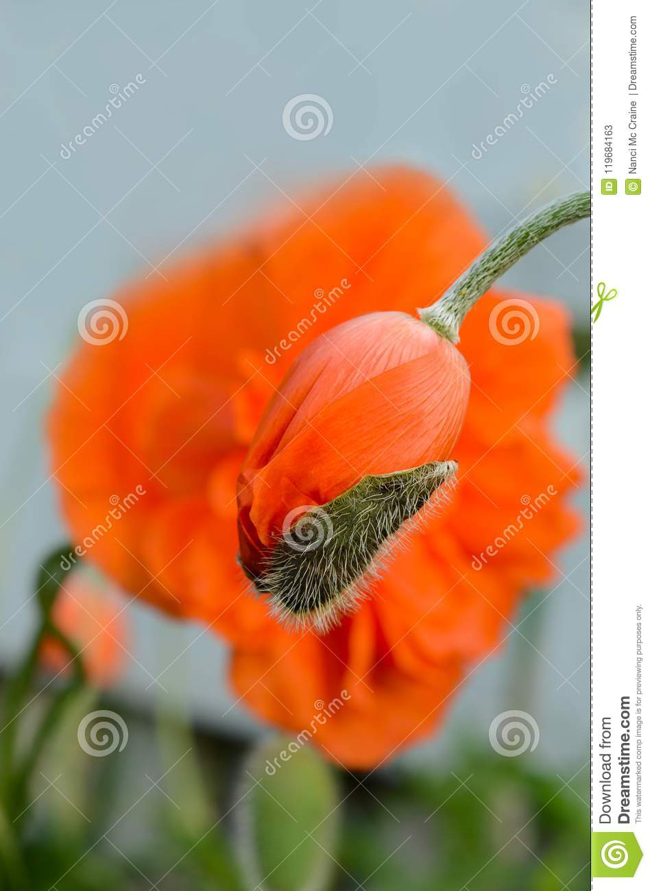 Poppy Flower Bud Casing About To Drop Off The Bloom Stock Image