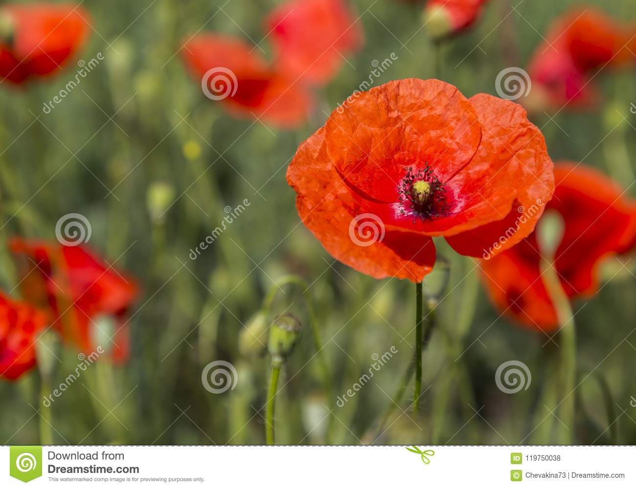 Poppy Flower Close Up On A Blurry Background Stock Photo Image Of