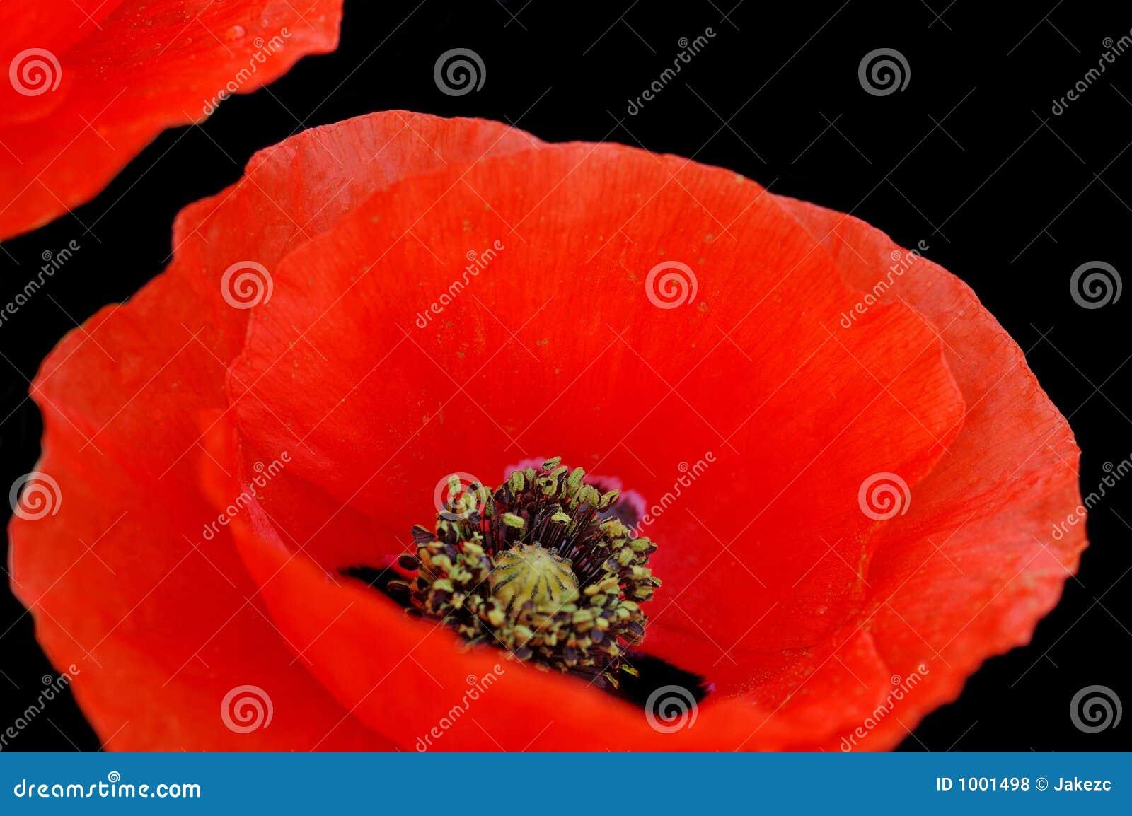 Poppy flower closeup