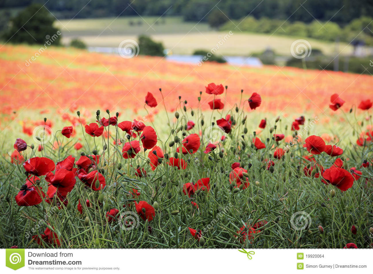 Poppy flower field tring hertfordshire uk stock photo image of poppy flower field tring hertfordshire uk mightylinksfo