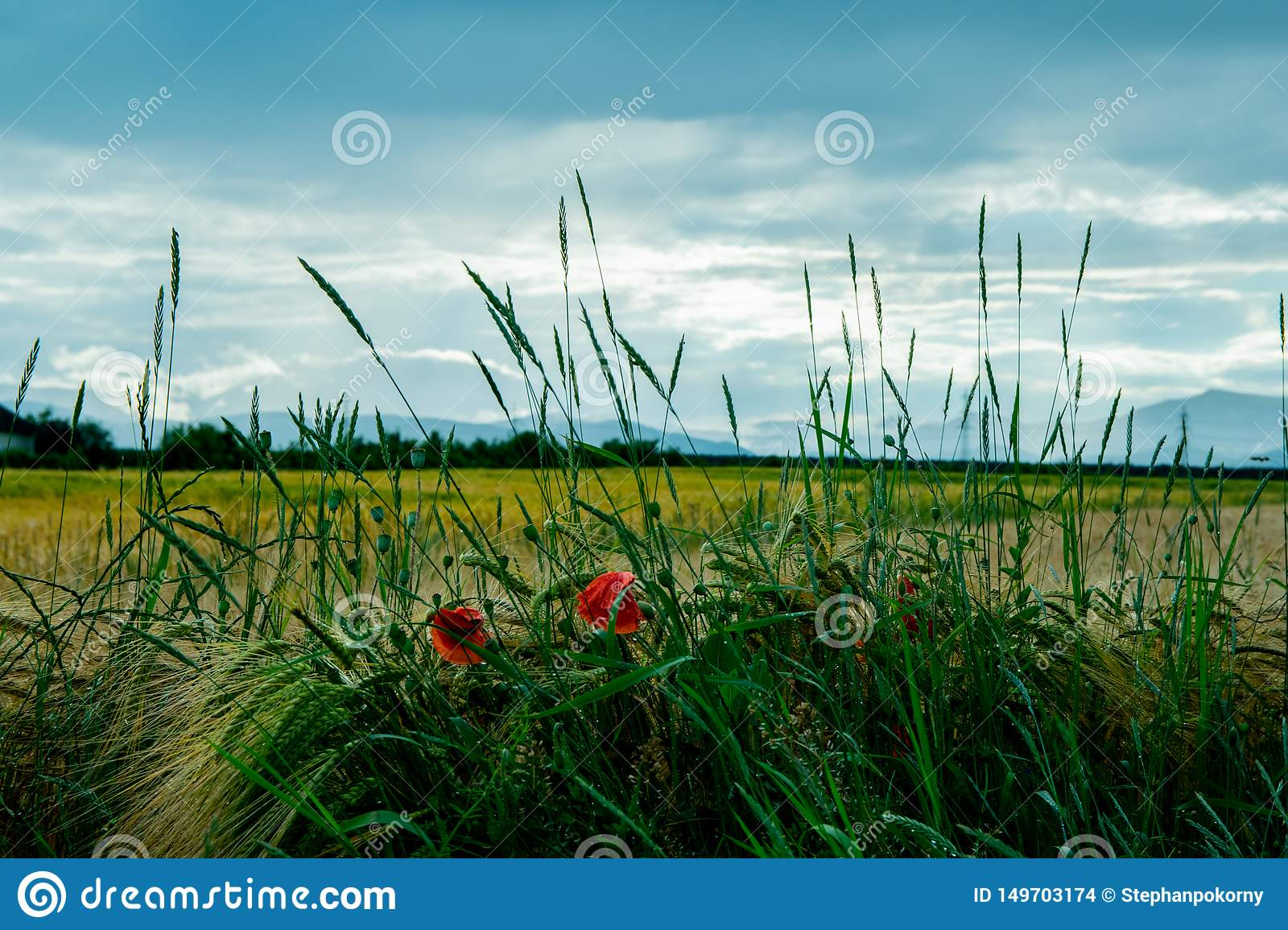 Poppy flower in front of a field and a cloudy sky