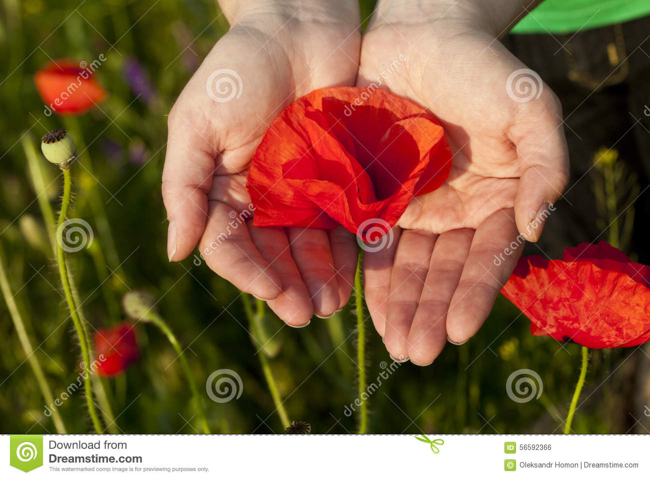 Poppy Flower Hands Stock Photo Image Of Concept Heart 56592366