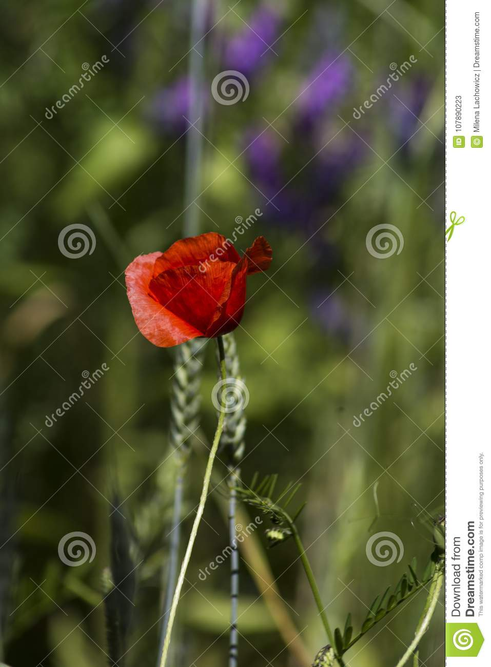 Poppy Flowerd On The Meadow Stock Image Image Of Summer Colors