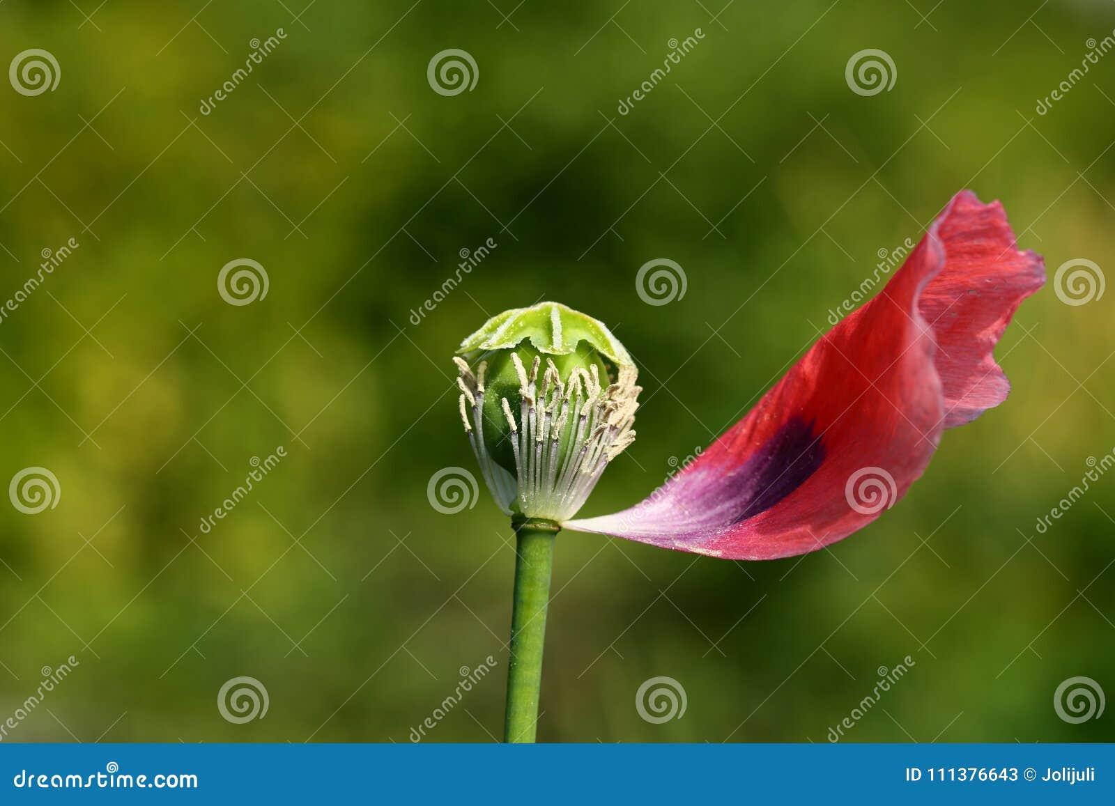 Poppy Flower Stock Image Image Of Colors Dark Garden 111376643