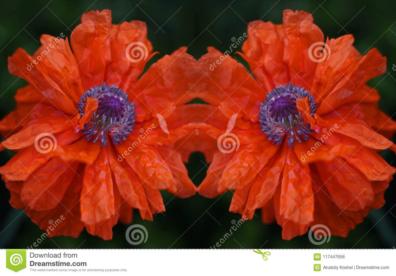 Poppy Flower Scarlet Petals Like Sails Stock Photo Image Of