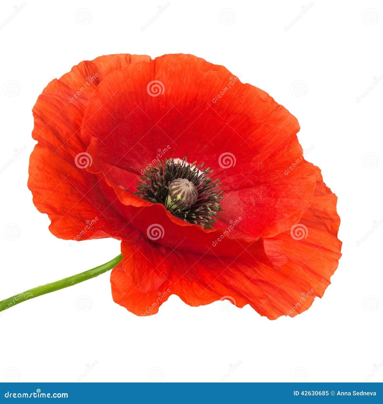 Poppy Flower Stock Image Image Of Fragility Object 42630685