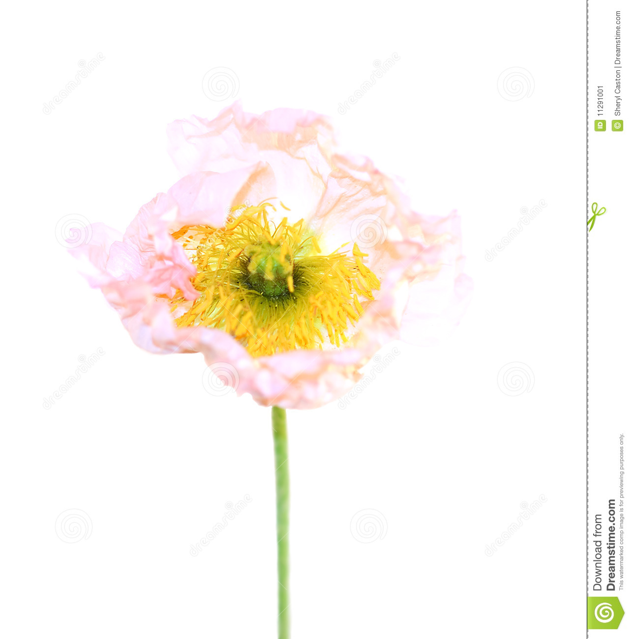 Poppy Flower Symbol Remembrance Stock Image Image