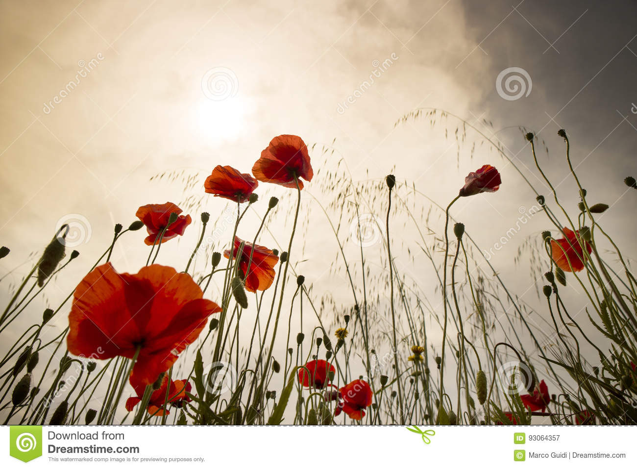 The Poppy Flower Stock Image Image Of Color Sunset 93064357