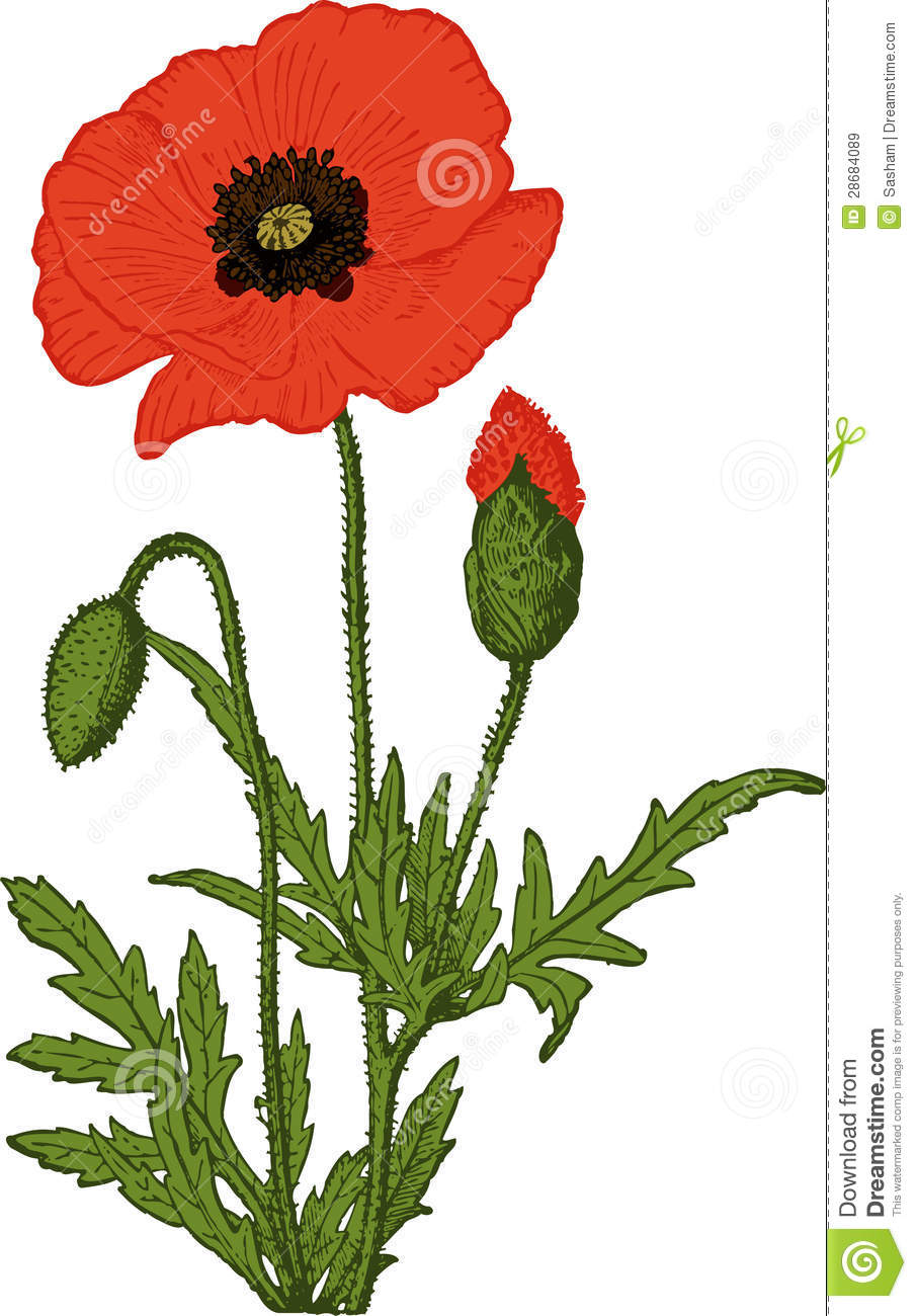 Red Poppy Flower Vector Stock Vector Illustration Of Opium 28684089