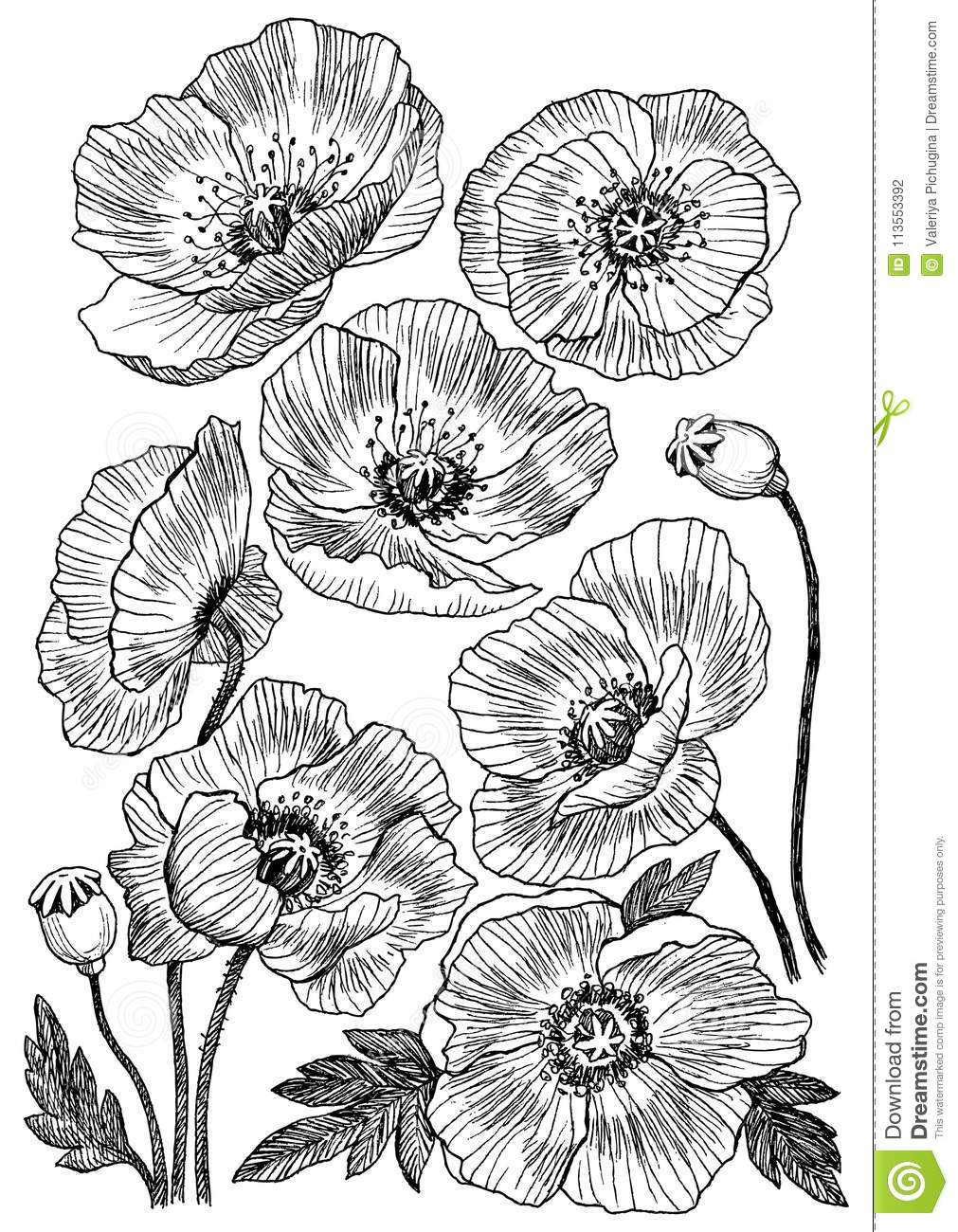 Poppy Flower Vector Drawing Set Isolated Wild Plant And Leaves