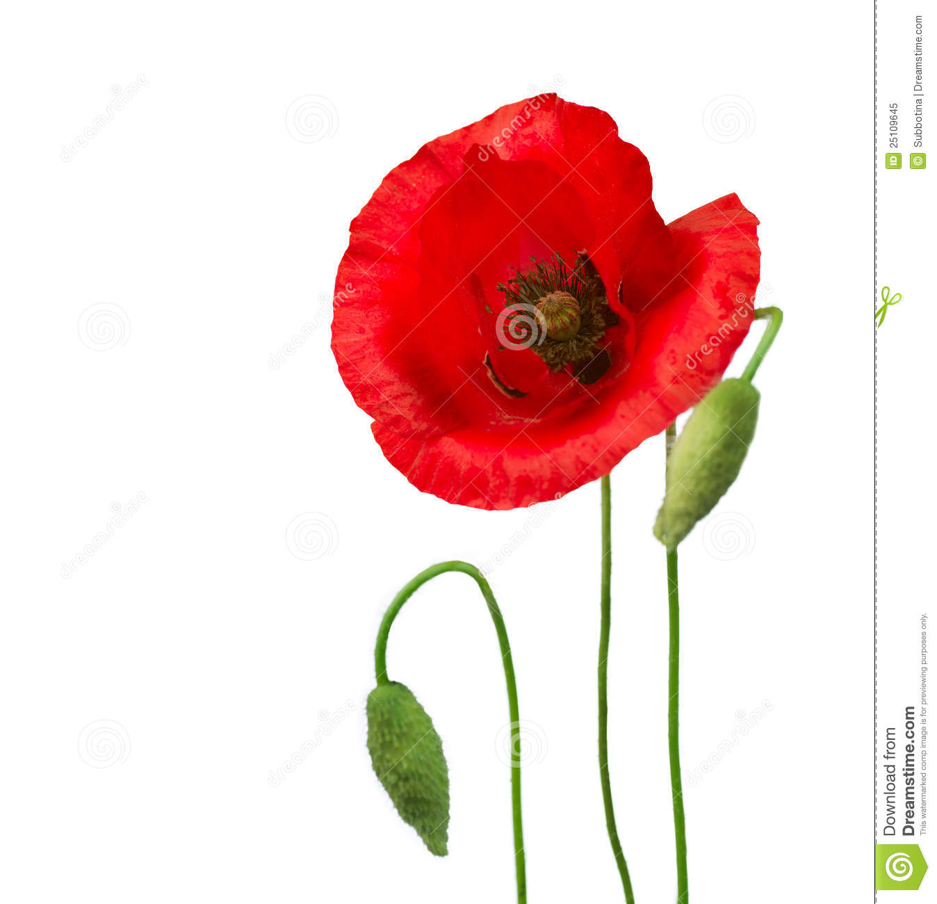 Poppy Flowers Stock Image Image Of Beauty Fragility 25109645