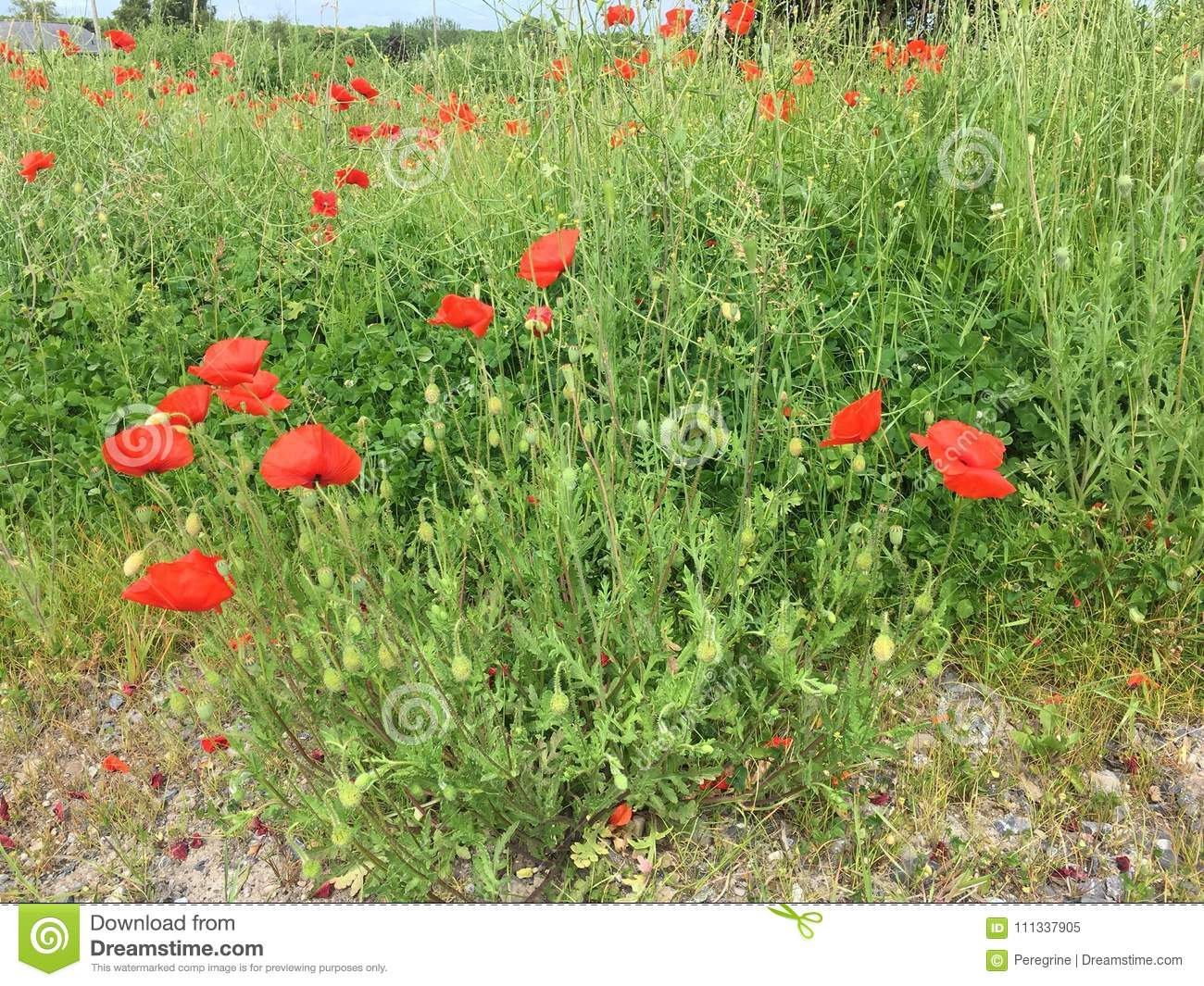 A Poppy Flowers Stock Image Image Of Popp Flower Grass 111337905