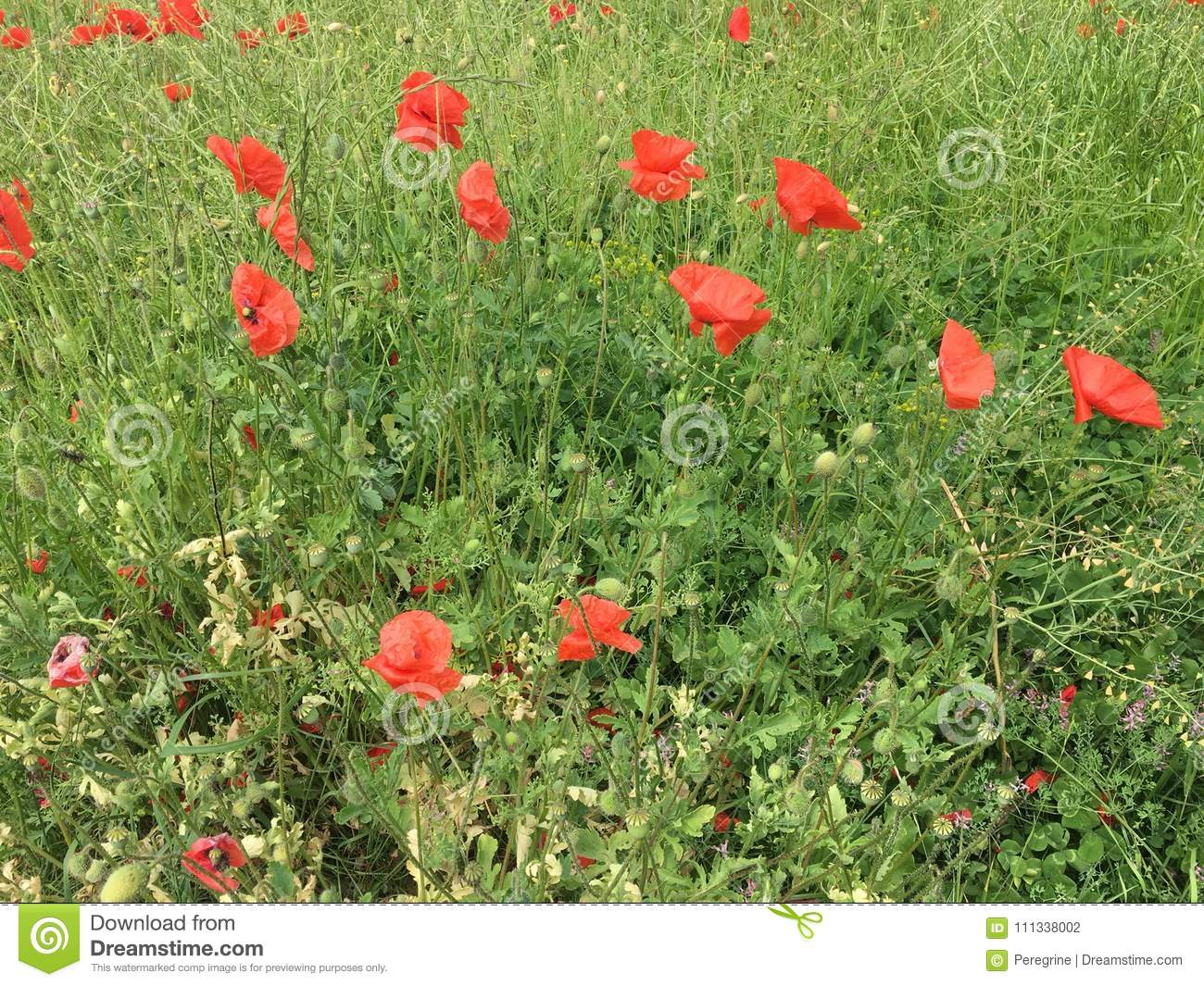 A Poppy Flowers Stock Photo Image Of Field Papaver 111338002