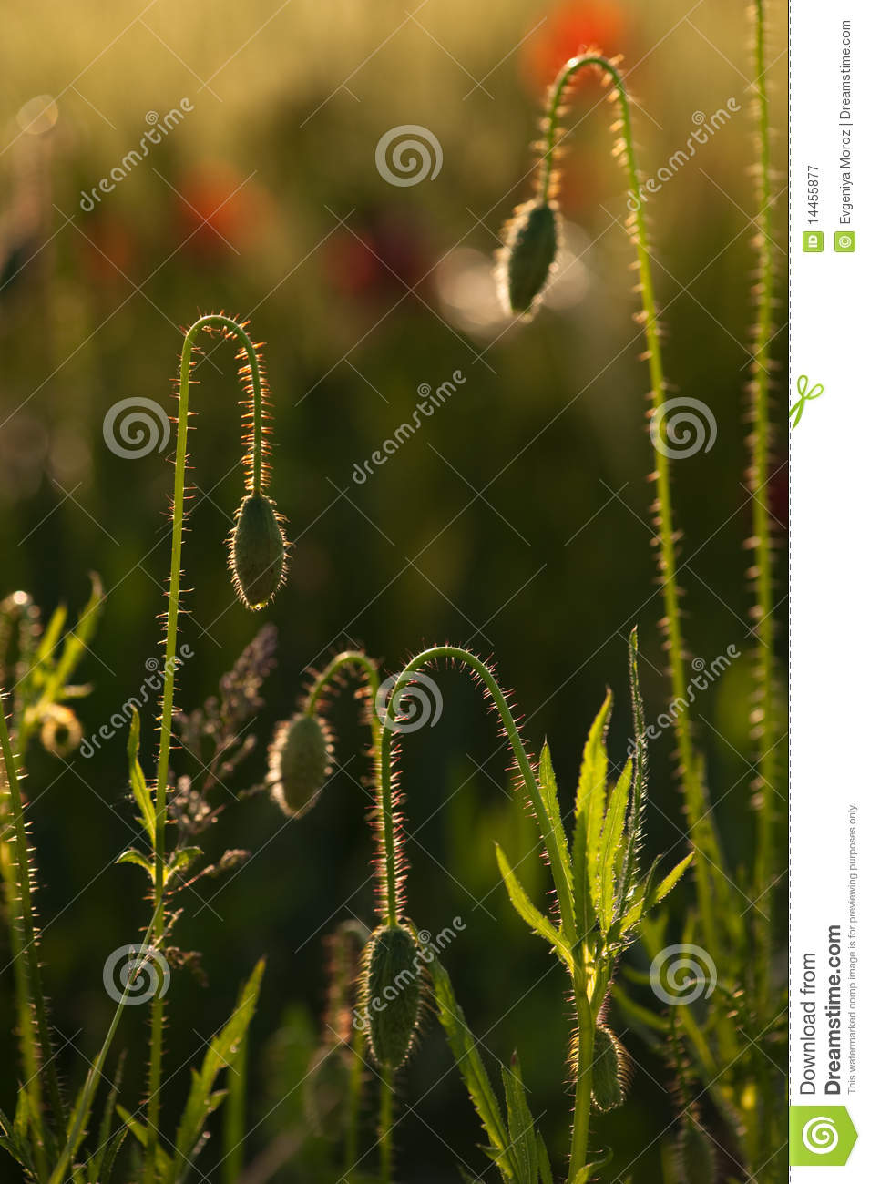 Download Poppy Flowers Buds Close-up Stock Image - Image of plant, haulm: 14455877