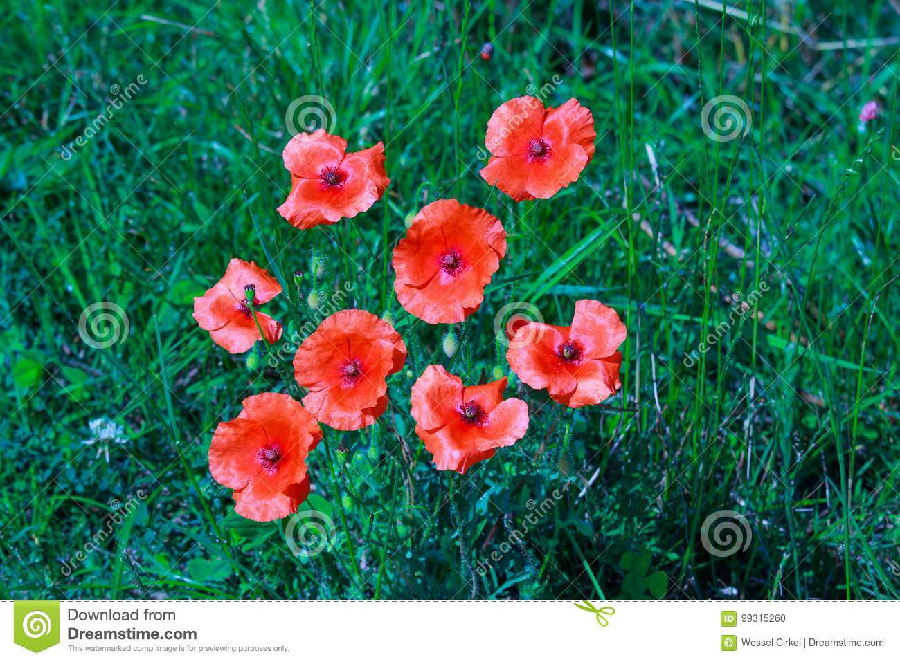 Poppy Flowers In Dutch River Landscape Stock Photo Image Of