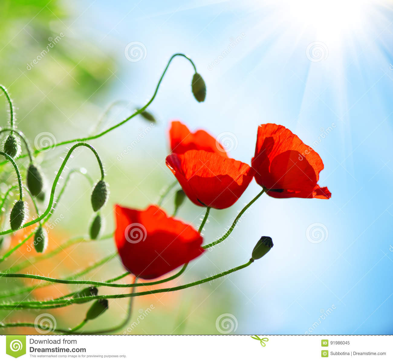 Poppy flowers field nature spring background