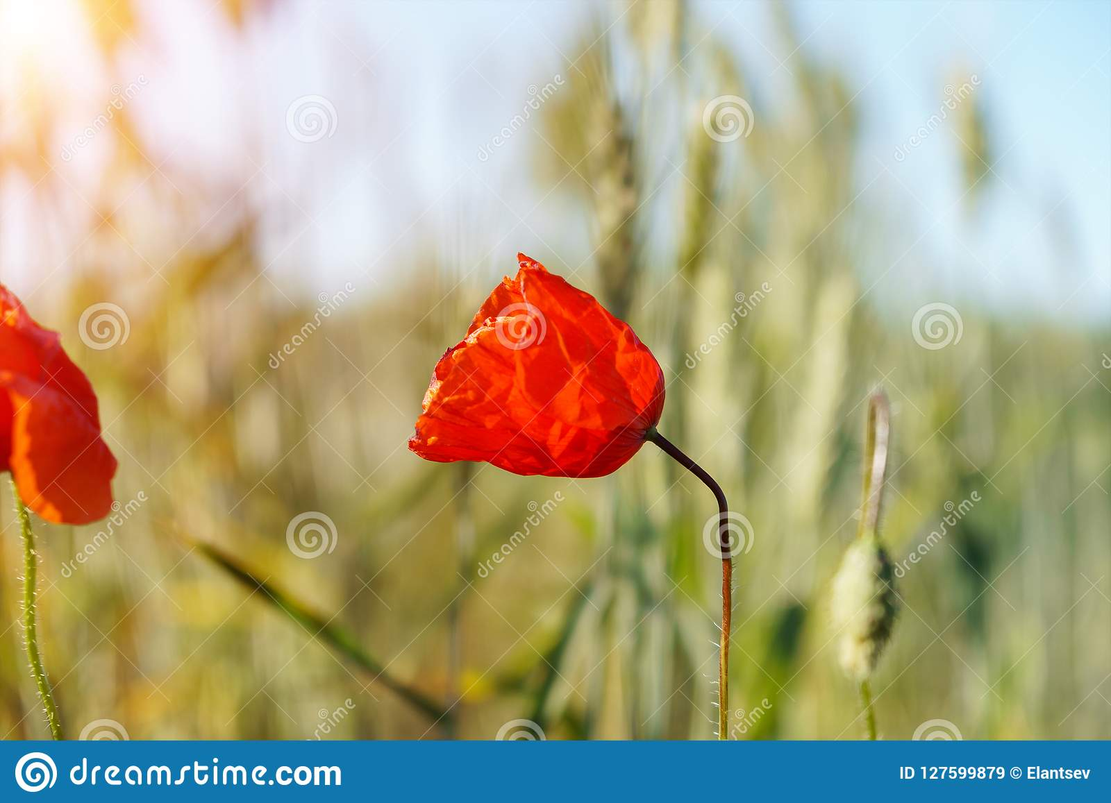 Poppy Flowers Field  Rural Landscape With Red Wildflowers