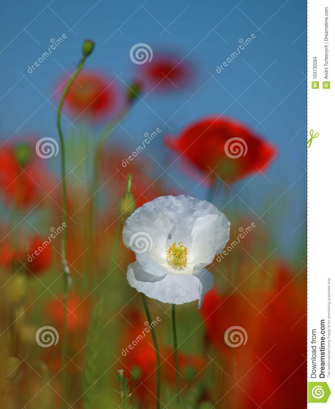 White Poppy Flower On A Blurred Background In The Middle Of A Wheat
