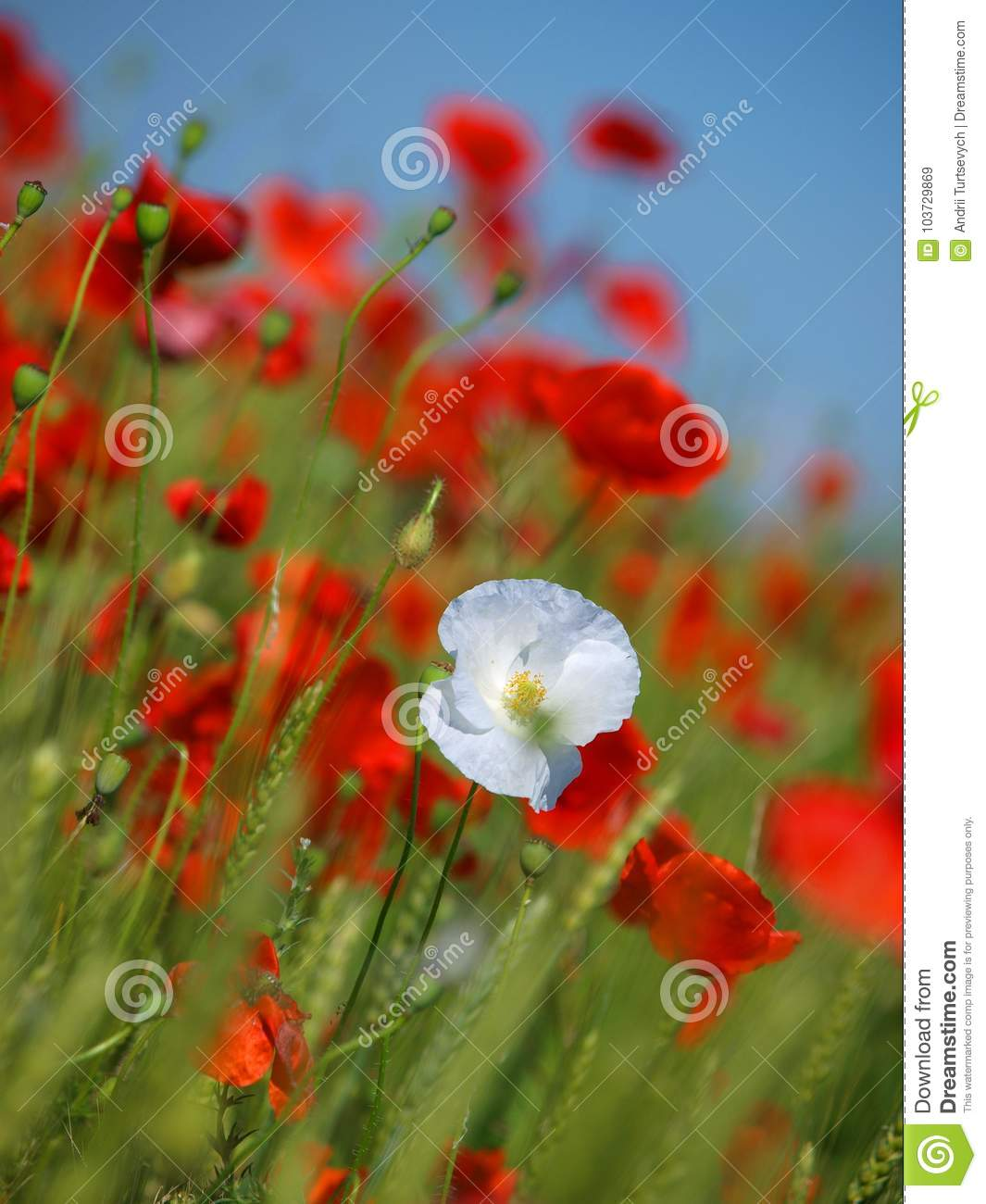 White And Red Poppy Flowers In The Middle Of A Wheat Field Stock