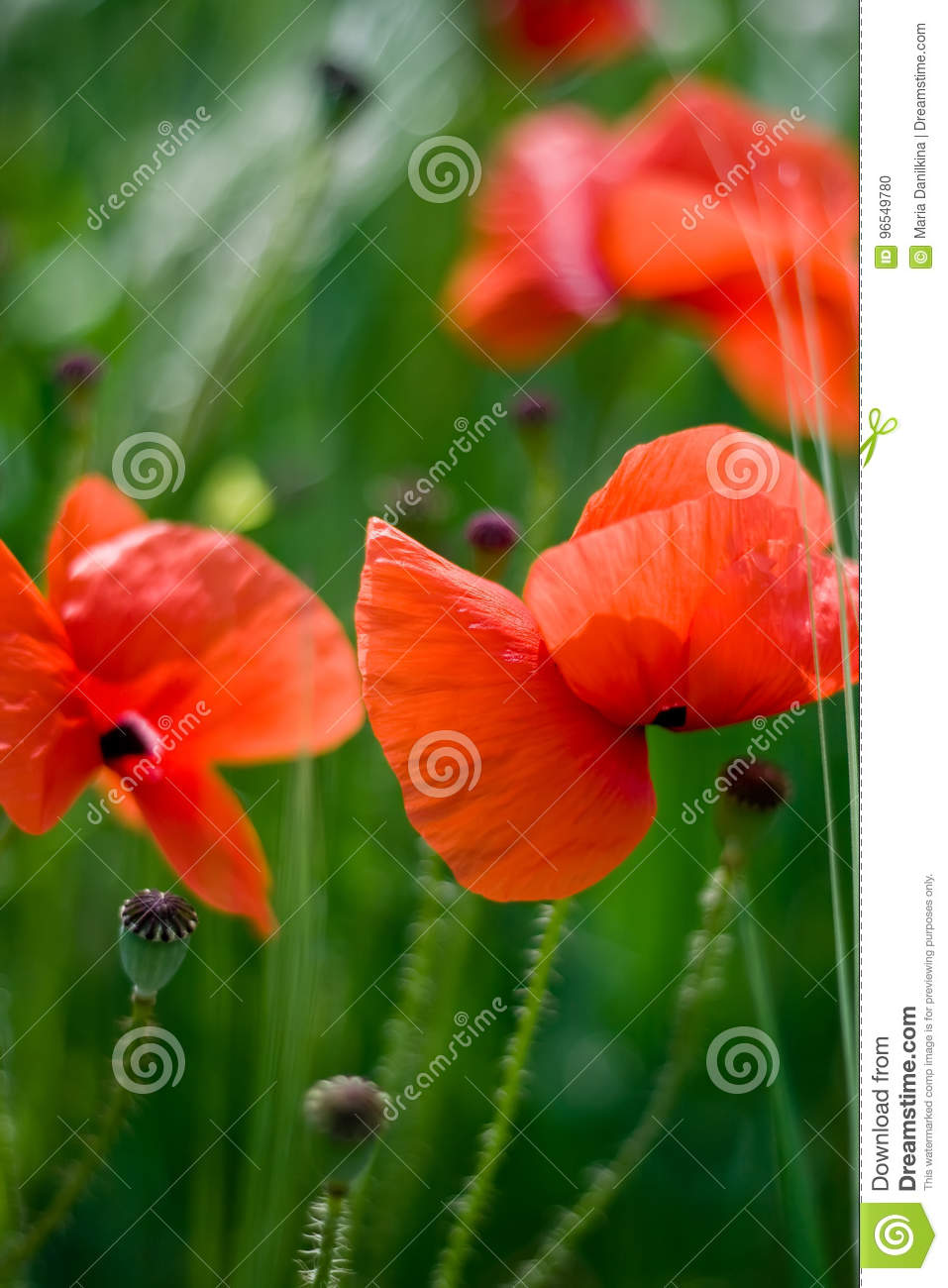 Poppy Flowers Stock Photo Image Of Color Green Background 96549780