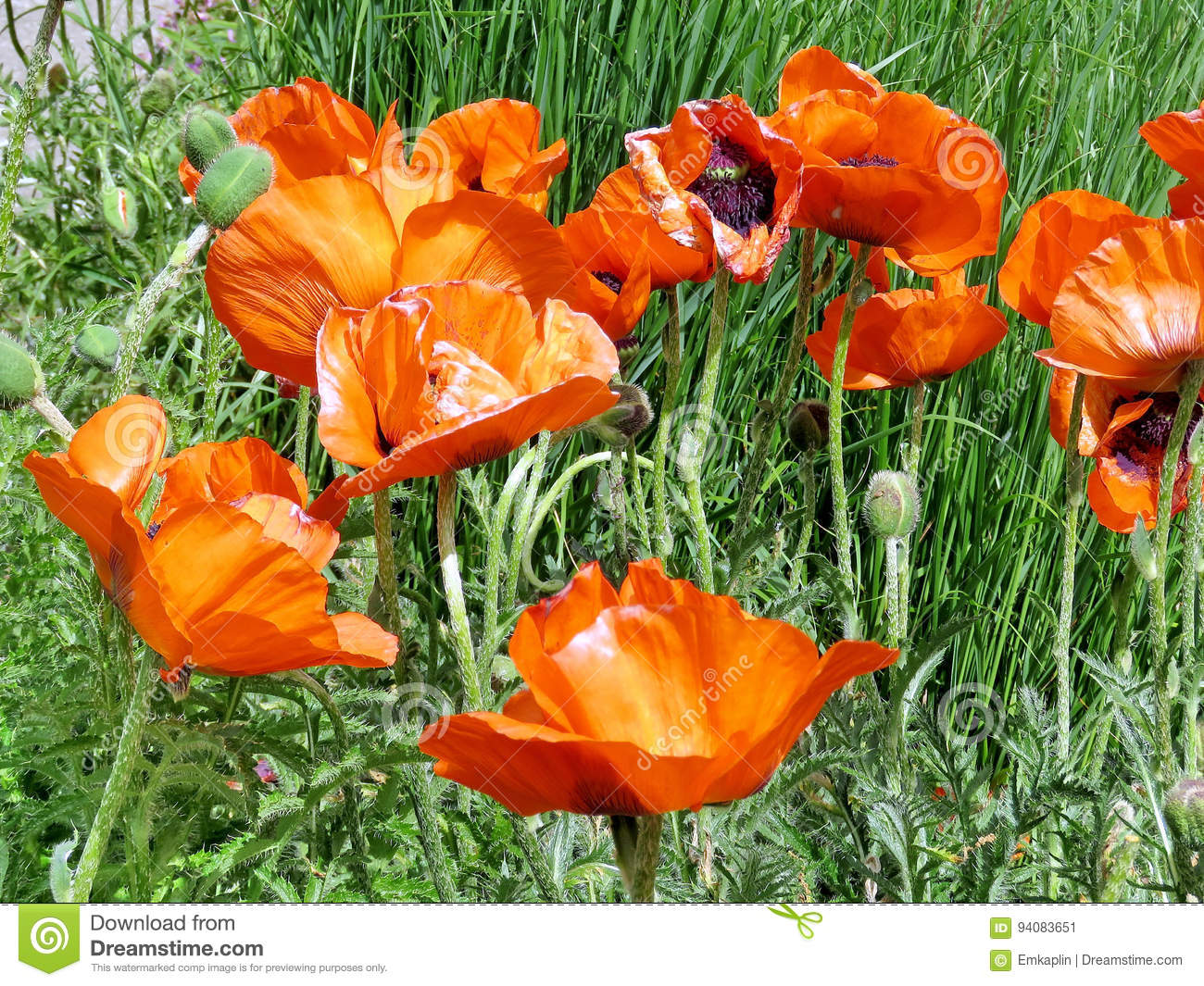 Poppy flowers stock image image of flower green agriculture poppy flowers mightylinksfo
