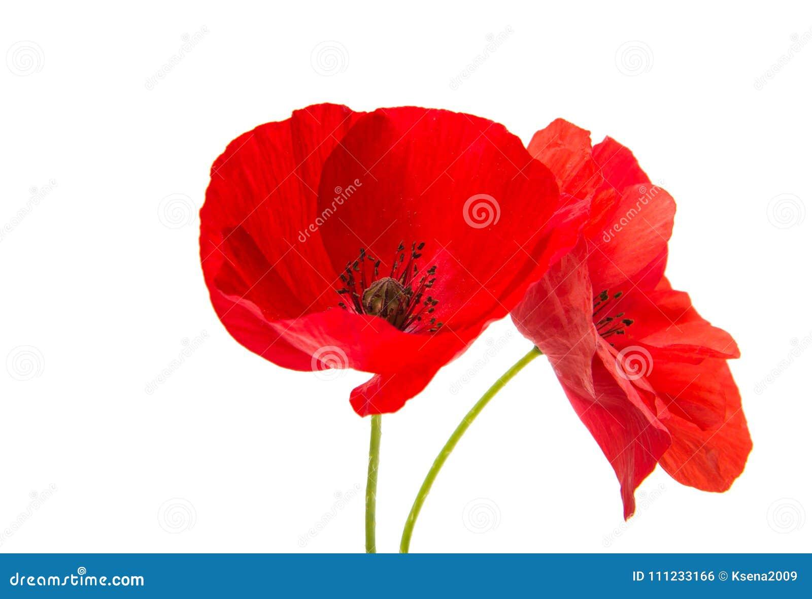 A Poppy Flowers Stock Photo Image Of Flower Fragile 111233166