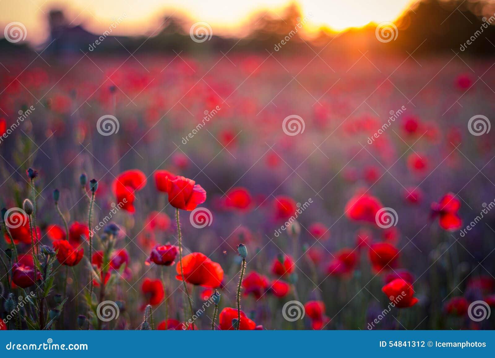 Poppy flowers in sunset, golden background