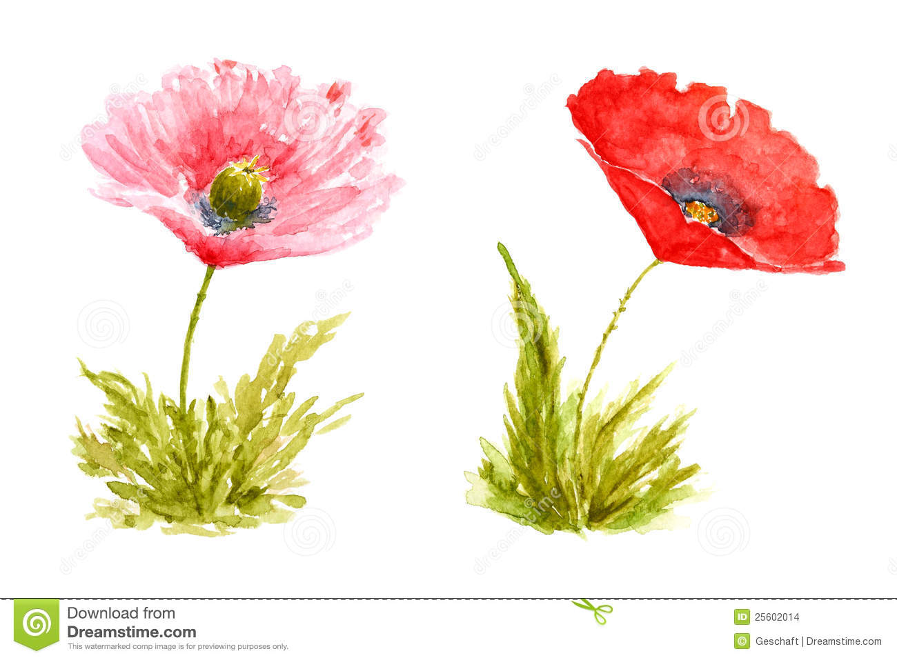poppy flowers watercolor hand drawn and painted stock
