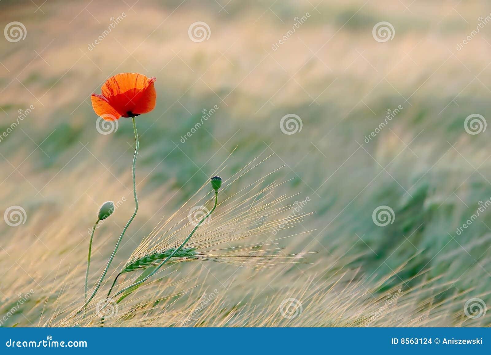 Poppy in the golden light of the sun