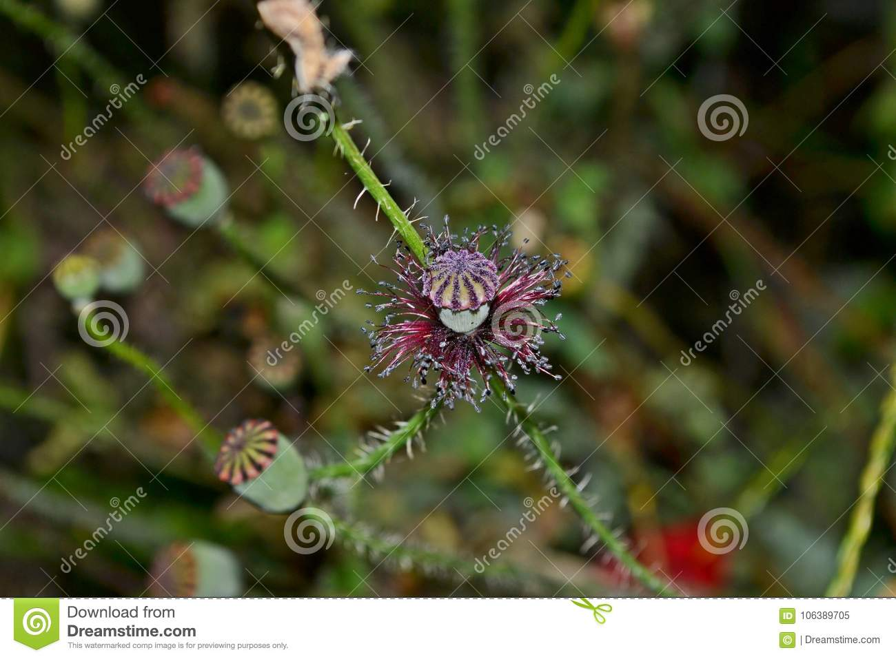 Poppy Head Without Red Flower Petals Stock Image Image Of Like