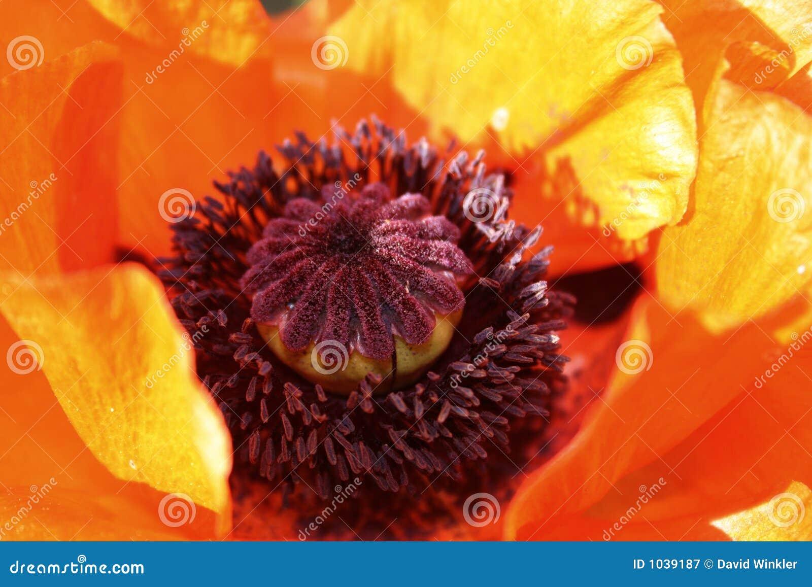 Poppy kwiatów