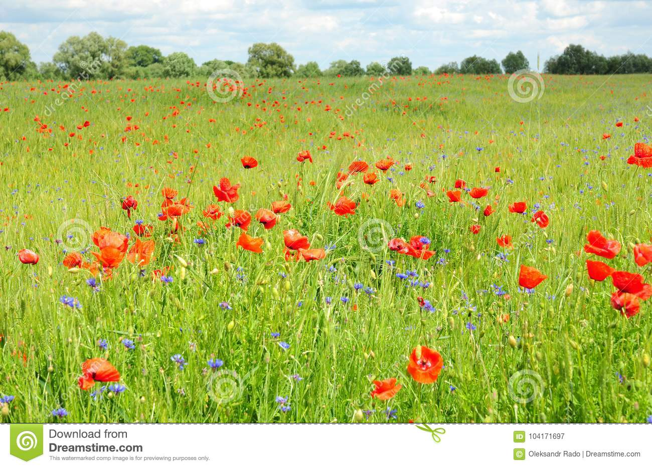 Poppy Perennial Flowers Pictures Of Poppies Flowers Blooming Red